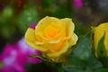 Picture Rain, Rain, Drops, Drops, Yellow rose, Yellow rose