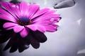 Picture water, colorful, flowers, gerbera, purple, gerbera
