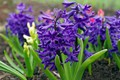 Picture flowers, beauty, macro, may, plants, nature, primroses, flora, cottage, hyacinths, joy, the color purple, spring