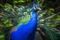 Picture blue, bird, tail, tail, birds, peacock, birds, nature, portrait