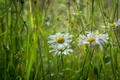 Picture meadow, Daisy, grass, summer