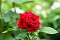 Picture rose, bokeh, red rose, Bud