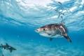 Picture blue, under water, underwater world, sharks, fish, sea