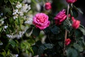 Picture leaves, roses, branches, Bush, nature, flowers