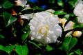 Picture flowering, flower, Bush, Camellia, summer