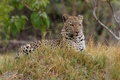 Picture stay, predator, color, look, leopard