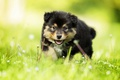 Picture grass, look, dog, baby, puppy, bokeh, Finnish lapphund