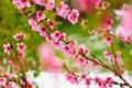 Picture flowers, nature, spring, Sakura, flowering