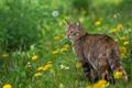 Picture cat, dandelions, cat, spring, flowers