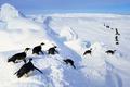Picture bird, ice, snow, Antarctica, Emperor penguins