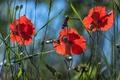 Picture summer, grass, light, flowers, Mac, Maki, snail, petals, trio, blue background, composition