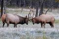 Picture nature, deer, horns, tournament