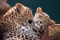 Picture love, cats, kitty, background, leopard, log, cub, wild, leopards, muzzle, mother, hugs, in the arms ...