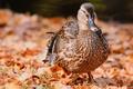 Picture autumn, bird, foliage, birds, home, duck, birds, nature