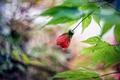 Picture leaves, Bud, abutilon