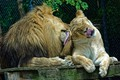Picture Pair, Lions, Washing