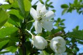 Picture cherry, flowering, April