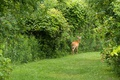 Picture glade, forest, nature, mammal, European ROE deer