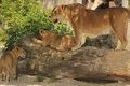Picture mother, lioness, shadow, cub, greens, kids, lion, tree, sand, Lioness, motherhood, the cubs