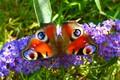Picture Macro, Butterfly, Flowers, Macro, Butterfly, Purple flowers
