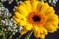 Picture macro, yellow, gypsophila, gerbera