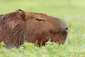 Picture nature, background, the capybara, Capybara