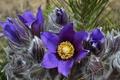 Picture spring, anemone, sleep-grass, macro