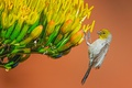 Picture bird, flower, macro, American Remez