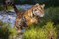Picture wild cat, The Amur tiger, jump, tiger