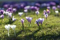 Picture flowers, Nature, spring, crocuses, weed, flowering
