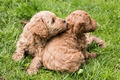 Picture puppies, breed, kids