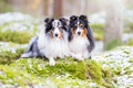 Picture nature, dogs, Shetland Sheepdog, sheltie, a couple