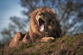 Picture language, Leo, mouth, the king of beasts, yawn, mane