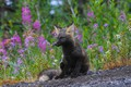 Picture flowers, animal, grass, Fox, nature