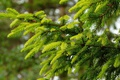 Picture branches, spruce, needles