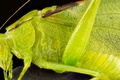 Picture insect, wings, grasshopper green, head