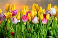 Picture flowers, buds, tulips, flowering