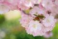 Picture garden, spring, petals, Sakura, nature