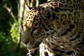 Picture face, predator, Jaguar, profile, wild cat