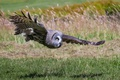 Picture hunting, great grey owl, owl, bird, wings, flight