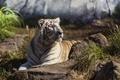 Picture face, predator, Bengal tiger