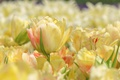 Picture tulips, yellow, Bud