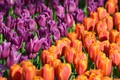 Picture Park, tulips, Netherlands, buds, a lot, Netherlands, Keukenhof, Keukenhof, Lisse, Lisse