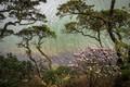 Picture trees, Bush, Azalea