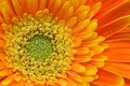 Picture orange, petals, gerbera