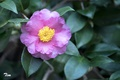 Picture leaves, Camellia, pink