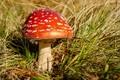 Picture mushroom, mushroom, grass