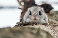 Picture nature, Protein, Common flying squirrel