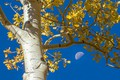 Picture leaves, autumn, the sky, aspen, The moon, tree