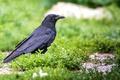 Picture bird, Raven, grass